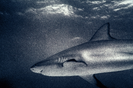 Barney Edwards - shark_Shaka_MG_8595BE