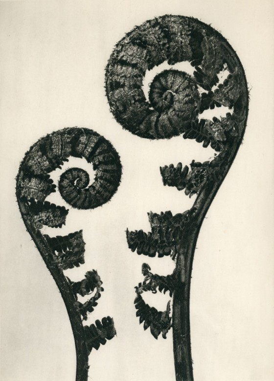 common-male-fern-karl-blossfeldt