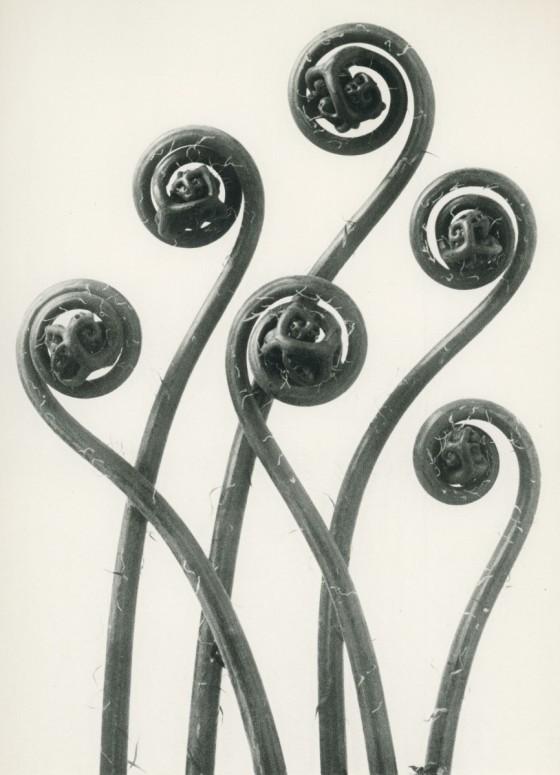 maiden-hair-fern-karl-blossfeldt