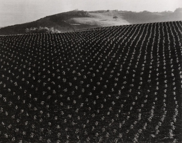 'Plant Field' Edward Weston.jpeg